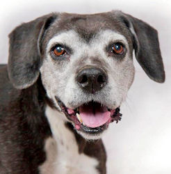 10-yr-old Trudy waits for a home with Sanctuary for Senior Dogs in OH